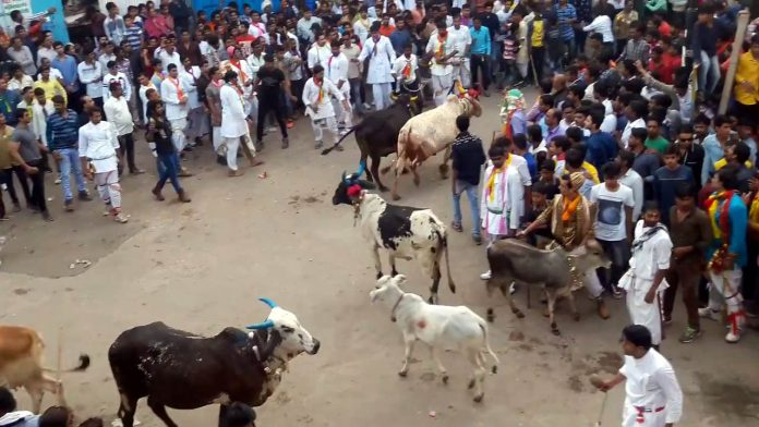 nathdwara bull-cow fight